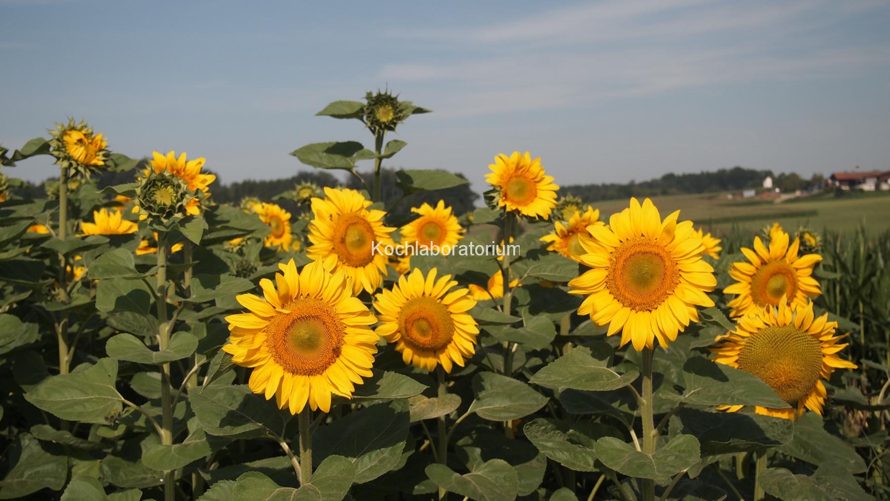 Sonnenblumenfeld bei Halbing