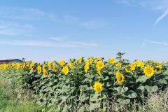 Sonnenblumenfeld bai Halbing